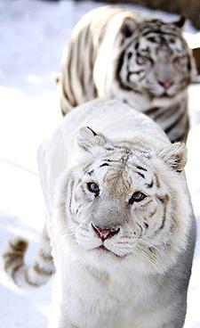 20100215132050-tigre.jpg