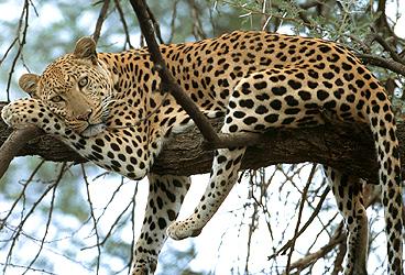 20100513163934-leopardo.jpg