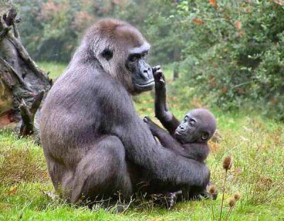 20100923231611-gorila.jpg