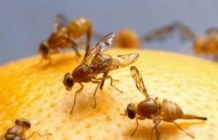 20110215203954-306-eoqh-mosca-de-la-fruta-macho.jpg