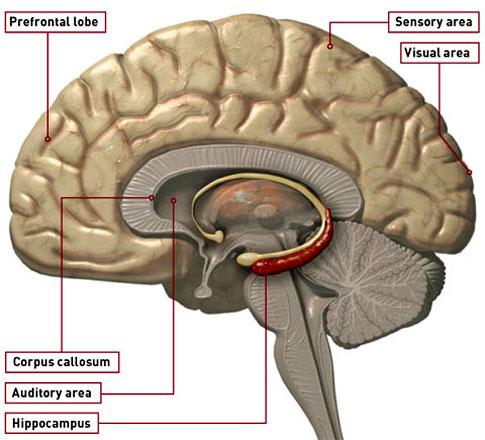 20110221200548-hipocampo.jpg