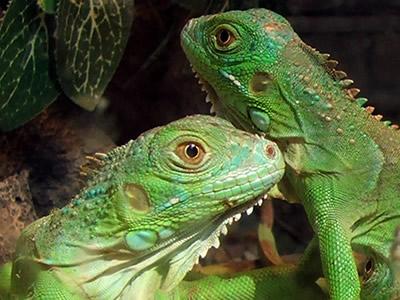20120326195656-iguanas1.jpg